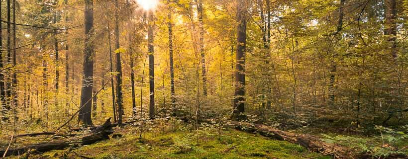 Sunburst in natural Forest - Autumn